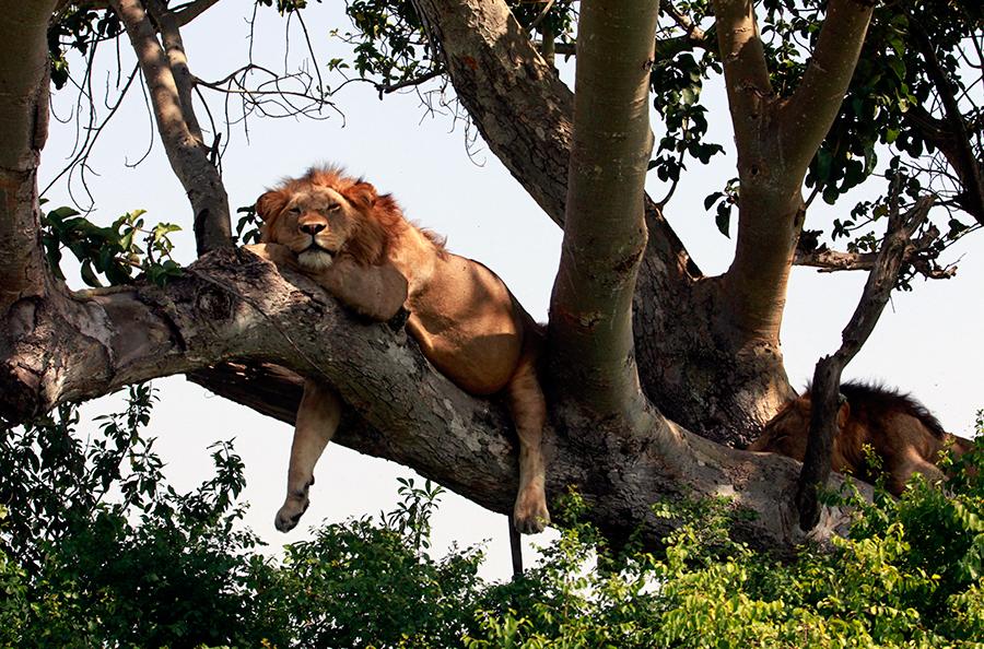 Trädlejon i Uganda