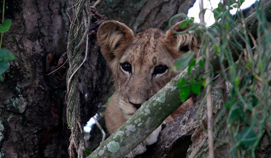 Lejonunge i Uganda